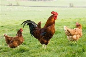 raising-free-range-chickens-5